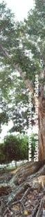 mammoth banyan tree