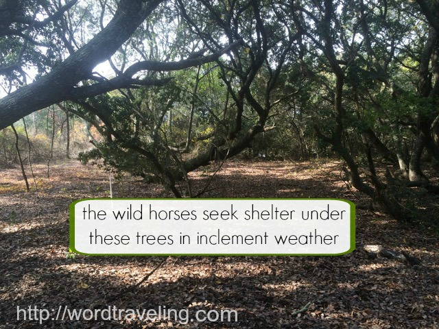 Scouring the Outer Banks for Wild Horses https://wordtraveling.com Learn all about the adventure of seeking wild horses in the Outer Banks of North Carolina!